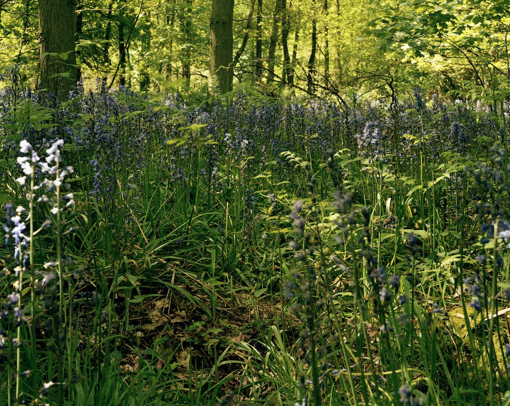 Bluebell Wood (Picture For My Father), 2004/ 2007, Double Dactyl
